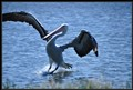 Pelican at Belmont Park NSW