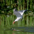 Caspian Tern about to catch a fish