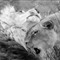 lions_bwlg7348