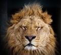 meditating lion