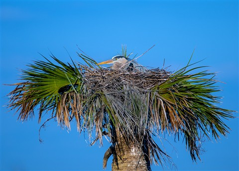 The Great Blue Heron (Ardea herodias) nesting in Viera Florida