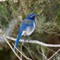 ScrubJay copy