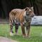 Tiger-033400