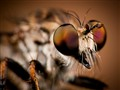 Robber Fly_01