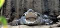 Viennese Crocodile