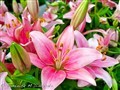ASIATIC LILLIES IN FULL BLOOM