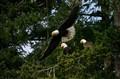 San Juan Island eagles