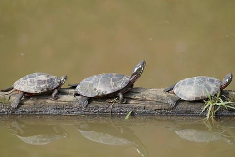 Three Free Turtles