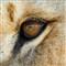 me in a lion eye