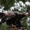 Wedge Tailed Eagle1