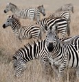 Equines of a different colour - Zebra in Kenya