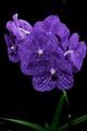 Vanda 'Pachara Delight' Orchid