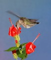 female ruby throat feeds on Turk's Cap.  North central Texas