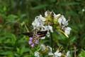 Hummingbird Moth in the Wild