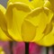 Vivid Fat Yellow Tulip