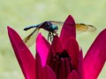 Dragon Fly on Water Lilly