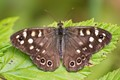 (Pararge aegeria) It flies in partially shaded woodland with dappled sunlight.