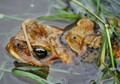 Web of Life - Frog coupling, spawning