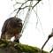 Hawk Feasting