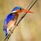Malachite Kingfisher: Taken in Okavango Delta