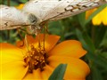 Butterfly feasting