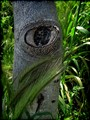 Eye Of A Tree