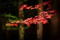 Acadia Red Leaf #4