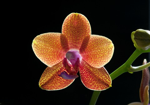 Phalaenopsis 1