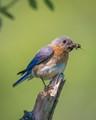 Bluebird with a Tasty Snack
