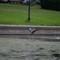Heron13_bif