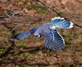 Blue jay flying behind the Metropolitan museum