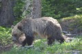 Grizzly Bear - Banff National Park - Alberta , Canada