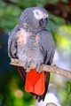 A red tailed beauty