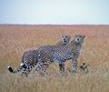 2 Cheetah siblings in the Masai Mara, Kenya