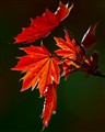 Spring Maple Leaf