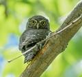 Northern Pygmy owl (parent 1)