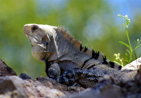 Black iguana (Ctenosaura species)