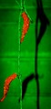 Hot peppers on a green background