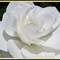 Annapolis Royal Historic Gardens White Rose