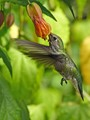 Hummingbird at a Chinese Lantern flower