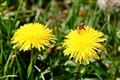 Taraxacum with a bee