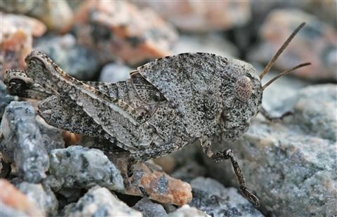 Camo_Grasshopper