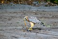 """This Red Shoulder Hawk actually got a""""two for one"""". The Black racer snake caught the Ring neck snake, the Hawk got both."""