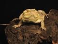 Beaded Lizard (captive)