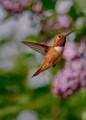 Rufous-and-Lilacs