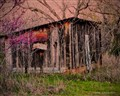 old shack and redbud