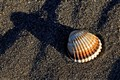 Long shadow seashell