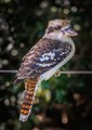 kookaburra on a wire