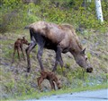 Mama Moose with Calves