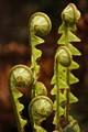 Curled ferns